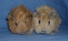 Abyssinian Guinea pig pups - buff and cream
