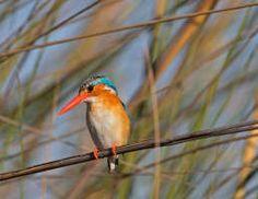 Image detail for -Southern Red Bishop (Euplectes orix) perching on reed, Magaliesburg Mountains, Gauteng Province, Sou