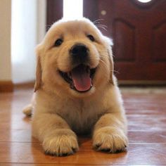 All About The Trustworthy Golden Retriever Puppy Exercise Needs Super Cute Puppies, Cute Baby Dogs, Cute Little Puppies, Cute Dogs And Puppies, Cute Baby Animals, Pet Dogs, Doggies, Pets, Dog Cat
