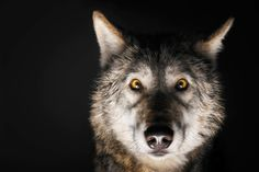 """""""The main characteristic of an alpha male wolf is a quiet confidence, quiet self-assurance. You know what you need to do; you know what's best for your pack. You lead by example. You're very comfortable with that. You have a calming effect."""""""