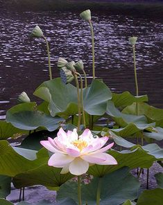 Beauty Of The Lotus