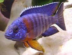 redmneck peacock aulonocara hansbaenschi Cichlid 8cm to 10cmLive Tropical Fish at Aquarist Classifieds