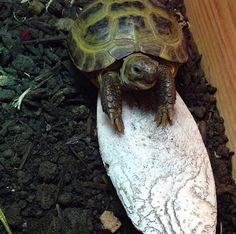 Your big tortoise is a source of pleasure to you. You bought the turtle so you can have more fun with family members and friends. But you need to take care Russian Tortoise Care, Kawaii Turtle, Tortoise Habitat, Animal Jewelry, Habitats, Community, Awesome, Tips, Animals