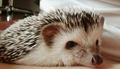 Hedgehog Molly