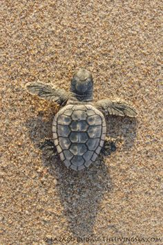 Baby sea turtle | by TheLivingSea.com