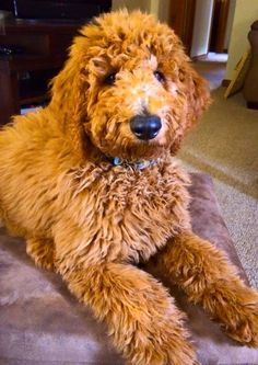 Goldendoodle Mini Goldendoodle, Labradoodle, I Love Dogs, Puppy Love, Mans Best Friend, Best Friends, Golden Doodles, Adorable Dogs, Dog Rules