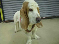 URGENT! ADORABLE basset off hold 7am!! IF not tagged by rescue or prepaid can be euthanized at that time!! ID#A184796  stray intake 11/22 unaltered male, white & brown Basset Hound Garland Shelter 600 Tower Drive  Garland, TX 75040  Phone: 972-205-3570, Press option 2 then 4 To tag for your rescue email ID number of the dog with your 501c3 and shelter rescue application to rescue@garlandtx.gov