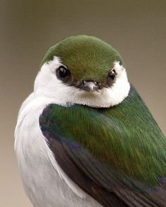 Violet Green Swallow Beautiful Color Pattern And Sweet Appearance This Lives Only