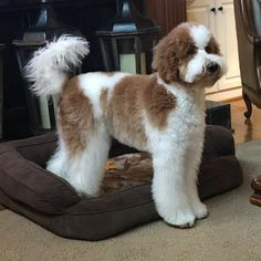 Cute Dogs And Puppies, I Love Dogs, Puppy Love, Doggies, Red Goldendoodle, Psychiatric Service Dog, Teddy Bear Dog, Dog Haircuts, Doodle Dog