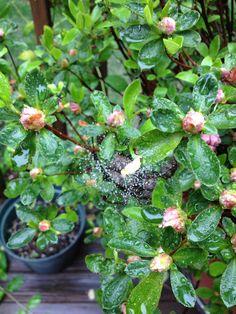 Bush in my backyard. I love it when spiderwebs catch raindrops.