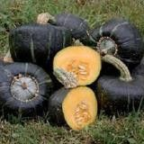 Burgess Buttercup Winter Squash Organic Seeds