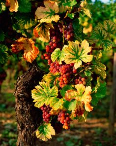 Bisou du Soleil Grape Vineyard, Wine Vineyards, Fruit Photography, Vides, Beautiful Fruits, Food Backgrounds, Fall Pictures, Wine Time, Fruit And Veg