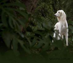 Salatino Danado De Bom PL    #Saluki #Salatino #Dogs #dog #perro #cao #cachorro #animals #animales #animais #cute #love #baby