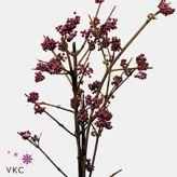 Callicarpa bodinieri var. giraldii! #Seasonal #Callicarpa #Wholesale #Flowers