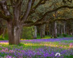 Camas. Bush's Pasture Park, Salem, Oregon | Flickr - Photo Sharing!
