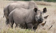 Chris Peyerk, of Shelby Township, Michigan, killed a rare black rhinoceros at Mangetti National Park, in the Okavango District of Namibia in Rhino Poaching, Large Animals, Wild Animals, Natural Ecosystem, Trophy Hunting, Types Of Animals, Hippopotamus, Zoology, Endangered Species