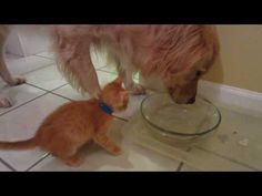 Funny Foster Kitten Gets Scared By Big Dog Drinking Water Loudly! - 5 Weeks Old - Golden Retriever - YouTube