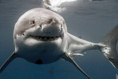 Really closeup pic of the magnificent Great White Shark! Incredible animal! My fave animal!