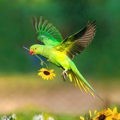 Sunflower parrot (photo by sunil) Funny Birds, Cute Birds, Pretty Birds, Beautiful Birds, Animals Beautiful, Tropical Birds, Exotic Birds, Colorful Birds, Nature Animals