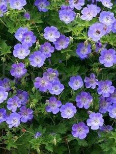 Geranium 'Gerwat' (= 'Rozanne') - Storkbeak - About Garden and Flowers Garden Shrubs, Garden Plants, Balcony Gardening, Fairy Gardening, Flower Gardening, Purple Garden, Shade Garden, Beautiful Flowers Garden, Beautiful Gardens