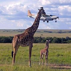 Giraffe and the Plane Optical Illusion - http://www.moillusions.com/giraffe-plane-optical-illusion/