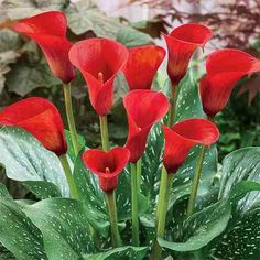Learn how to properly care for calla lily flowers. Read our invaluable grow & care tips for calla lily bulbs. Plus shop our beautiful calla lilies for sale! Calla Lily Flowers, Calla Lillies, Bulb Flowers, Zantedeschia Aethiopica, Summer Bulbs, Perennial Bulbs, Lily Bulbs, Planting Bulbs, Summer Flowers