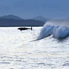 Dolphin Surfing Byron Bay
