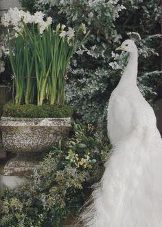 White daffodils with white peacock White Peacock, Peacock Art, Over The Garden Wall, Moon Garden, Mundo Animal, White Gardens, Bird Feathers, Beautiful Birds, Simply Beautiful