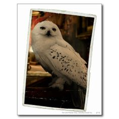 Official Harry Potter - Hedwig, snowy owl photograph postcard