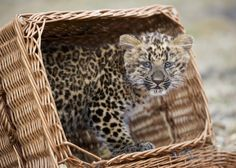 From Getty: Two month old North China leopard cub Nekama sits in a basket in her enclosure at the Berlin zoo on March 15, 2011. Nekama was born on January 7, 2011 and weighs now around 4.5 kilogrammes. AFP PHOTO / JOHANNES EISELE