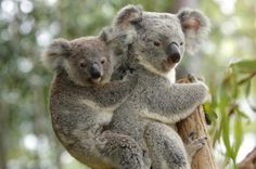 Baby Koala Bear | koala claws koala connection koala learning center koala credits koala ...