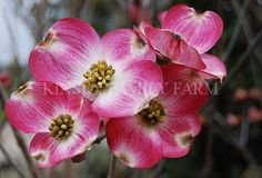'Cherokee Brave' Dogwood Tree - a pink flowered variety, Cornus florida is native to the southeastern United States. Kinsey Family Farm Gainesville, GA.