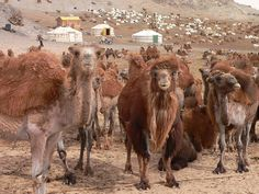 Camel Herders Camp . Mongolia