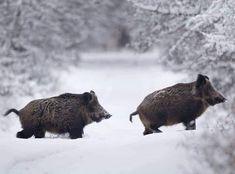 Winter Hog Hunting Tips and Tricks Boar Hunting, Hunting Tips, Primates, Mammals, Big Whitetail Bucks, Feral Pig, Hog Pig, Rare Animals, Strange Animals