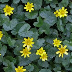 ranunculus_ficaria_lesser_celandine_close_large  buttercups  one of the first signs of spring