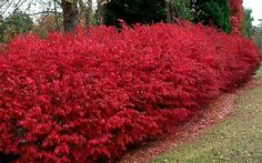Dwarf Burning Bush 5'-10' Tall 5'-10' Wide Deciduous No Blooms very bright coloring in Winter Plant in Full Sun or Part Shade in Acidic/Alkaline Soil Slow Growth Rate www.greenprintLED.com