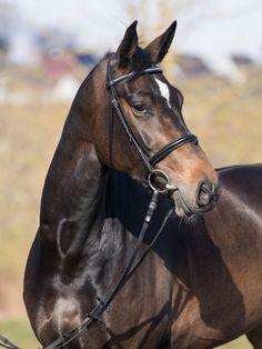 Warmblood Horses, Oldenburg, Beautiful Horses, Tack, Animals, Horses, Pretty Horses, Animales, Animaux