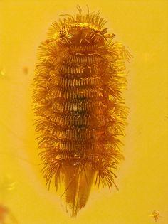 Baltic amber (40-50 MYO) - perfect rare Polyxenidae - 3 mm by leth.damgaard, via Flickr