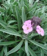 Bowles' Mauve Wallflower (Erysimum 'Bowles' Mauve') - Monrovia - Bowles' Mauve Wallflower (Erysimum 'Bowles' Mauve')