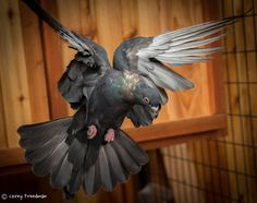 Egyptian Swift pigeon