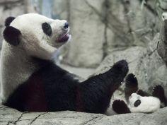 Giant Panda Mei Xiang (L) and her cub Bei Bei, born