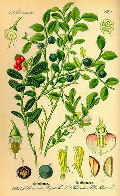 Beneficios y propiedades de los arándanos y del arándano rojo.