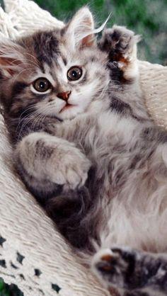 Cat in a hammock