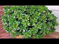 Buy Green ivy on a wall of house by roxanabalint on PhotoDune. Green ivy on a wall of house Feng Shui, Ivy, Herbs, Stock Photos, Green, Wall, Plants, Amor Youtube, Crassula Ovata
