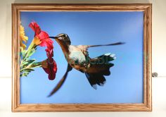 Large 18 by 24 Hummingbird photograph by CrazySwanPhotography