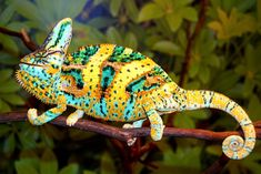 How Can the Chameleon Change Its Color