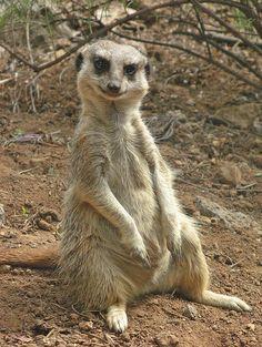 Meerkat Wisdom
