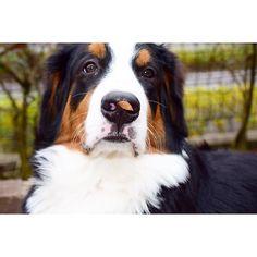 スピーーー ちょっとね  息苦しいですけどね 顔は決めましたですよ スピーーー .  #落ち葉 #鼻ぺったん#berner #bernese #bernerlove #bernesennen #bernesemountaindog #dog #dog_features #dogoftheday8 #puppy #puppylove #puppyoftheday #lacyandpaws #excellent_puppies #worldwidedogs #instadog #instadogs #bigdog #バーニーズマウンテンドッグ#バニ部 . by dossowl
