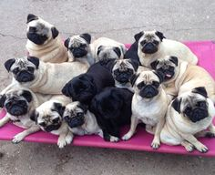 A grumble of pugs