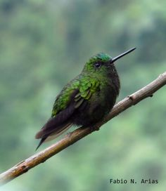 Black-Thighed Puffleg - Eriocnemis derbyi - Found in humid forest edge and ravines in the Andean highlands of Colombia and northern Ecuador. the puffs on the legs of this species are black, unusual for the puffleg species. Unfortunately, this hummingbird is threatened because of habitat loss - Image : © Fabio N Arias on Flickr